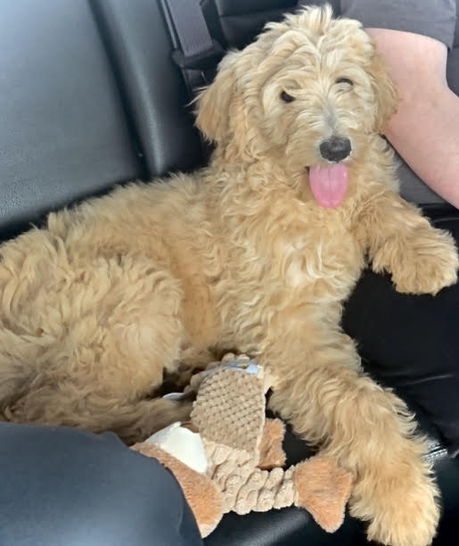 Lost 4 month old Goldendoodle puppy in the Hunter's Ridge/Sunrise Petal area on February 23rd around 3:00p.m.  She was wearing a blue harness. She was playing in the yard but got scared by a vehicle pulling in the driveway and took off like a bullet in the woods. Her name is Stella but she honestly has not learned it yet. Please contact me by email or phone with any info. I have 2 kids and this momma who are a wreck. 601-543-6267 themixons@comcast.net