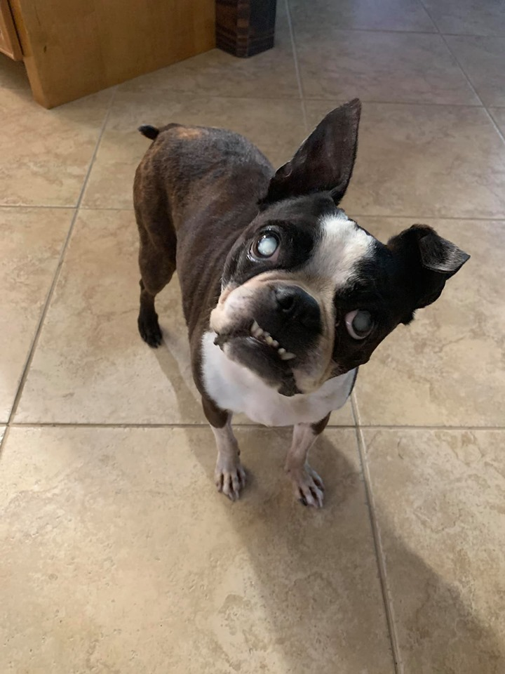 Wrigley - blind Boston Terrier - missing in Lake Heritage, Laurel, MS